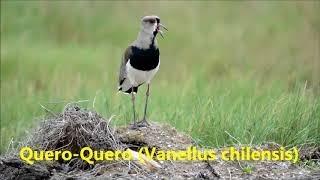 Som do Quero-Quero - Vanellus chilensis - em Araruama RJ - Aves Brasileiras