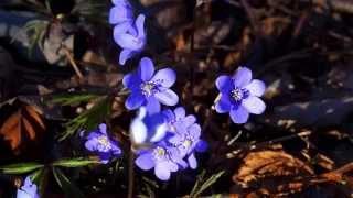 видео Печеночница (65 фото): сорта, особенности посадки, ухода и размножения, совмещение с другими растениями