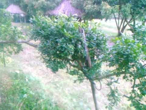 cây nguyệt quế cành bay dài 3m