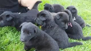 Groenendael puppies