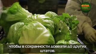 Всё о салате Айсберг
