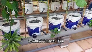 魚菜共生玩家 研究種植哈密瓜