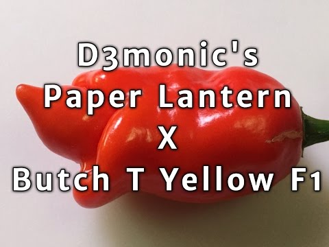 D3monic's Paper Lantern x Butch T Yellow F1 pod test