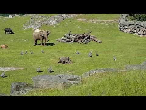 Baby elephant chasing birds
