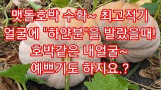 """맷돌호박 수확 최적기/호박얼굴에 """"하얀분&qu…"""