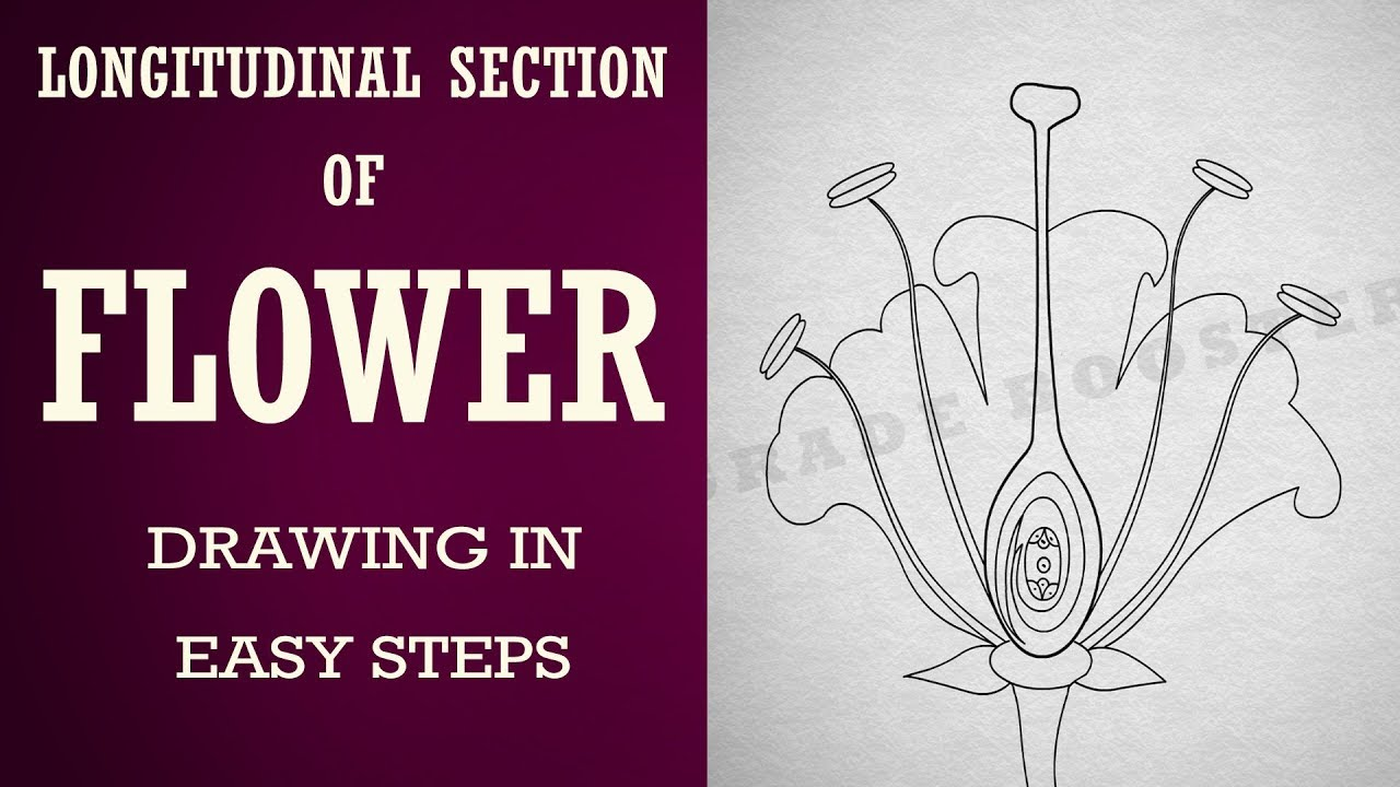 How To Draw Longitudinal Section Of Flower In Easy Steps 10 Biology