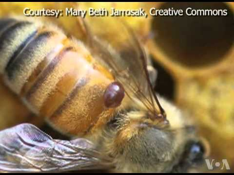 Artificial Insemination Used to Breed a Better Bee
