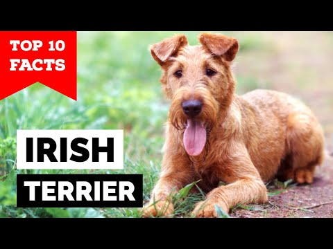 Irish Terrier - Top 10 Facts from YouTube · Duration:  5 minutes 32 seconds