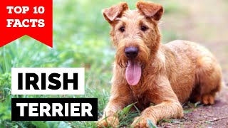 Irish Terrier  Top 10 Facts