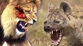 狩_【閲覧注意】野生動物ライオンVSハイエナ!夜も獲物の奪い合い