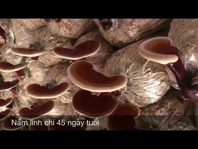 Quá trình lớn lên của nấm linh chi Linachi