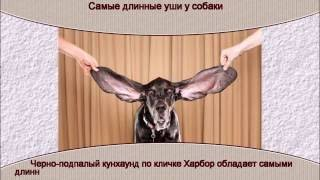 Самые длинные уши у собаки