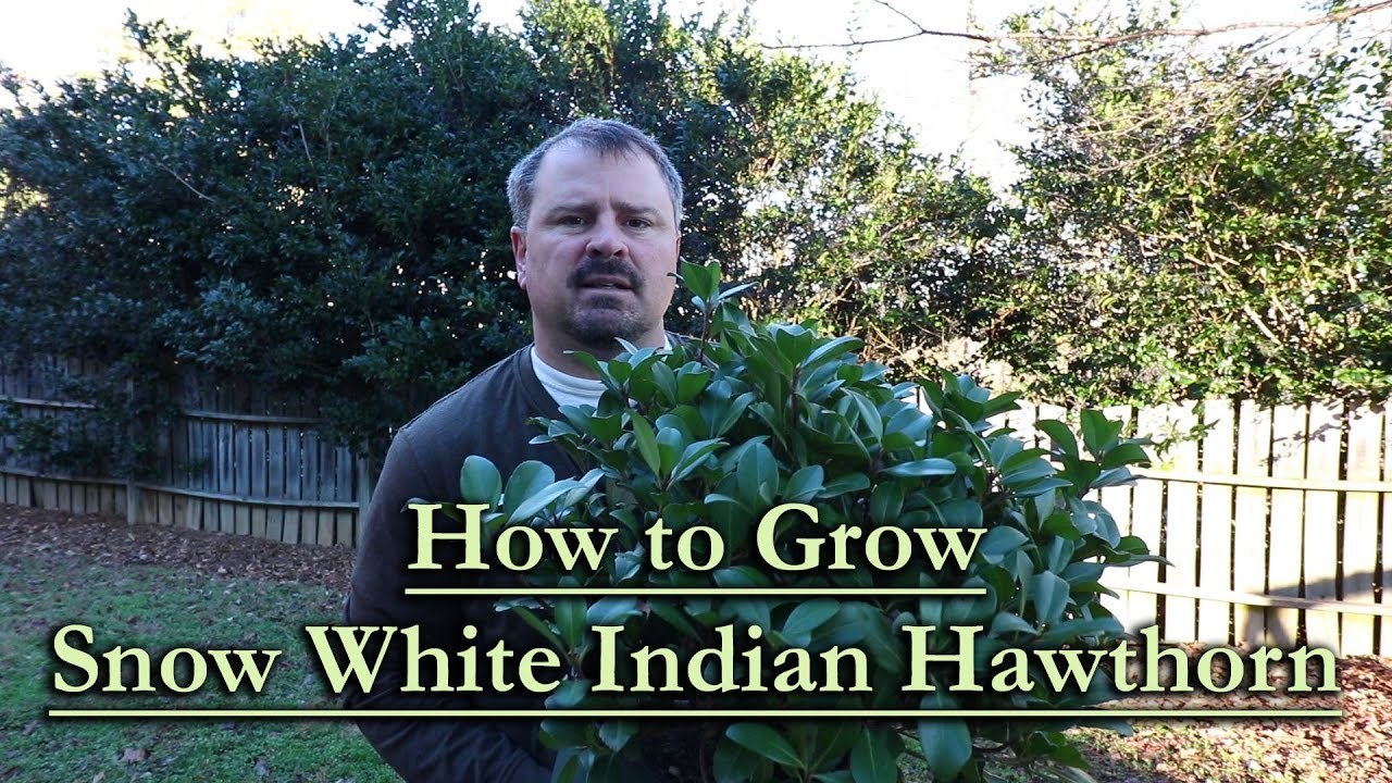 how to grow indian hawthorn from seed
