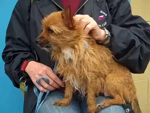 A5031300 Irma | Cairn Terrier/Norwich Terrier Puppy
