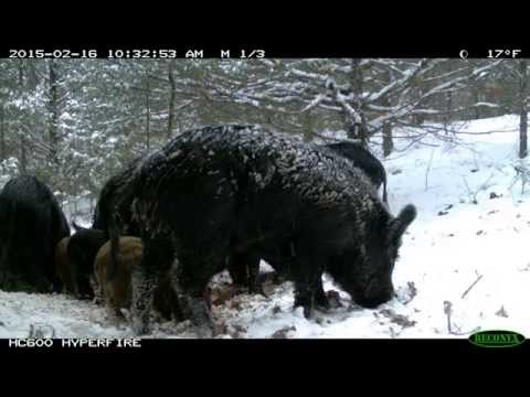Hog Trapping with the Missouri Department of Conservation
