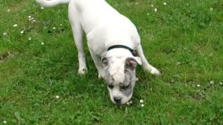 "This is oure 7 month old ""Old English Bulldogg"". Running trough the..."