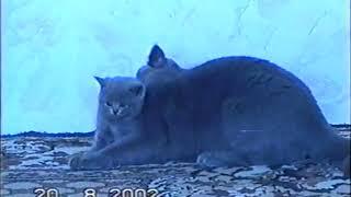 Британские котята, коты и кошки. Год съемки 2002.