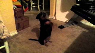 Dachshund (weiner Dog) Begs To Be Played With