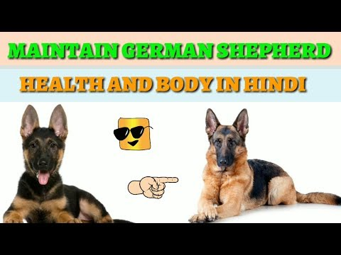 How to take care German Shepherd in Hindi || how to maintain German Shepherd health and body