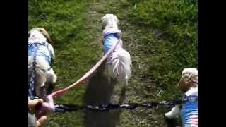 保健所出身シーズートリオのお散歩。ビーグルの仔犬も映ります♪ Trio th...