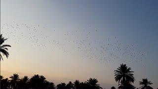 اجمل مقطع صيد الطبان على الطائر مع باقر الياسري واحمد الزيرجاوي