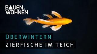 Fische überwintern: Koi Karpfen sicher durch den Winter bringen