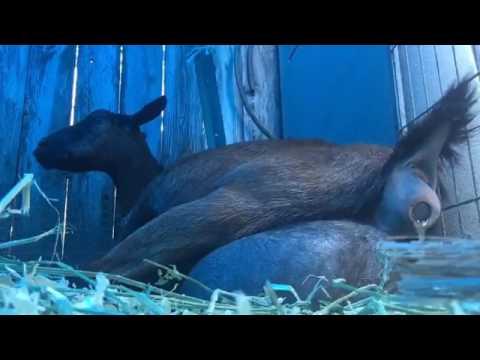 Oberhasli pet goat gives birth to 3 kids