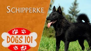 Dogs 101  SCHIPPERKE  Top Dog Facts About the SCHIPPERKE