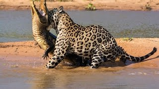 TIGERS HUNTING ATTACKS COMPILATION Including Tiger Attacks Bear, Crocodile, Cow, Monkey, Boar