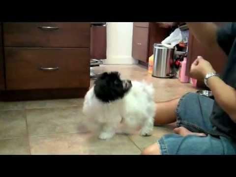 Dog Trick Resume - Havanese Dog Tricks by Jasmine - YouTube
