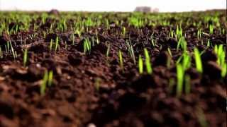 Предпосевная обработка семян озимой пшеницы