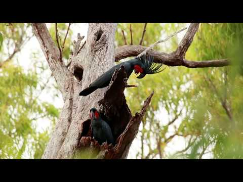 The drumming cockatoo – a scientific video abstract