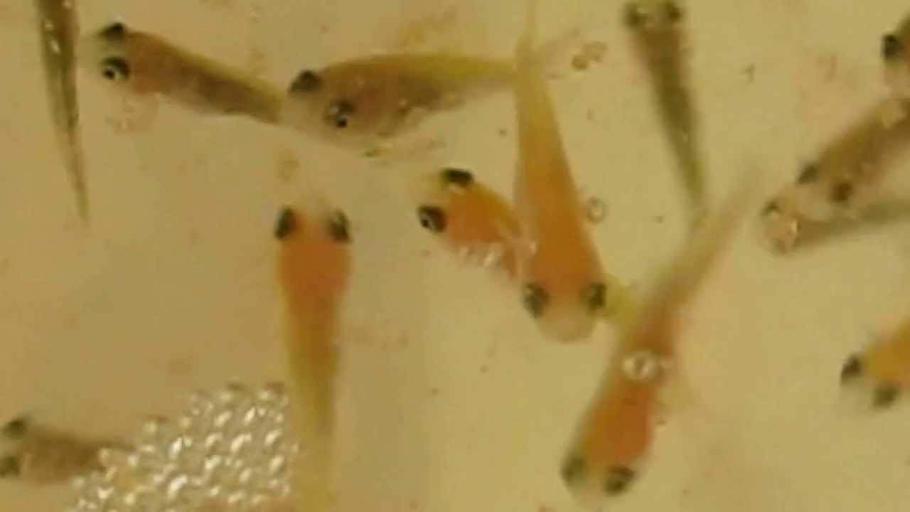 Feeding koi fry youtube for Koi carp fry