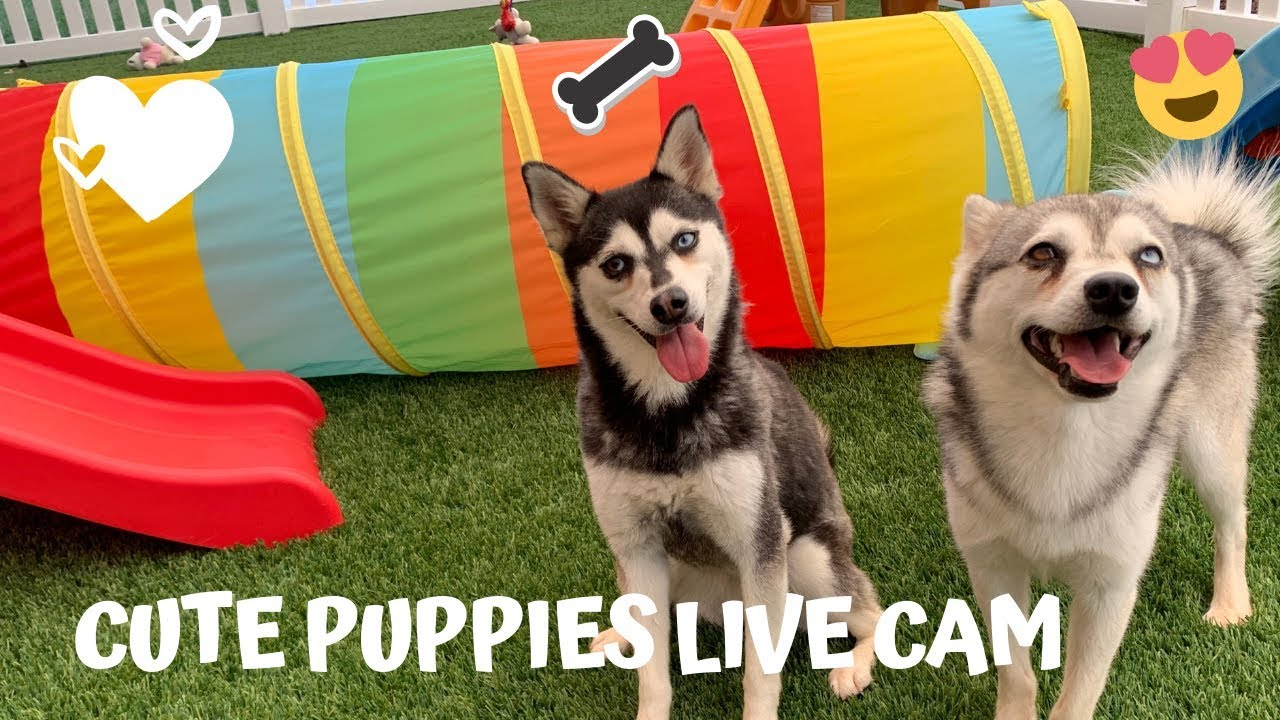 Puppies Live Cam-Cute Alaskan Klee Kai, Miniature Husky Dogs