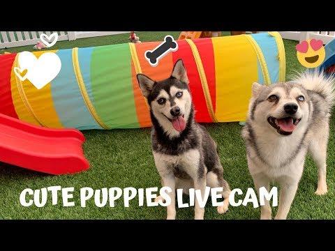 Puppies Live Cam-Cute Alaskan Klee Kai, Miniature Husky Dogs