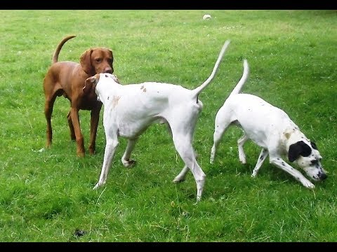 Dalmatian X Phoebe, Hungarian Vizsla Archie & Pointer Gizmo larking around.