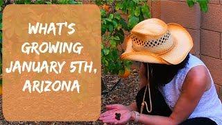 A Gardening Video - Arizona Garden in January, 2018