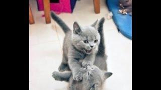 Видео британских котят.(Питомник британских кошек Silvery Snow/ Британские котята в возрасте после 1 месяца и примерно до 2.5 месяцев крайн..., 2013-10-29T16:05:52.000Z)