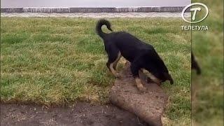В Туле щенок умудрился порезвиться под газоном