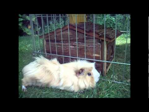 Guinea Pig Love Day Eight.wmv