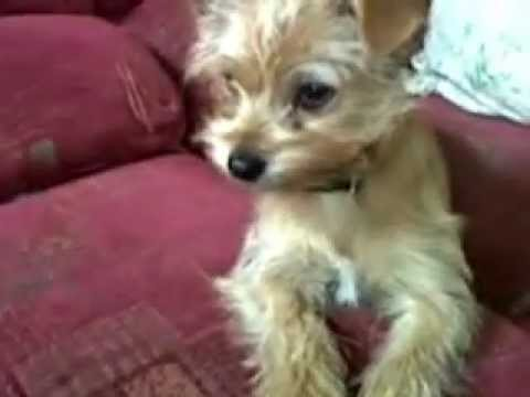 My Dog Molly Yorkshire Terrier Cross Chihuahua Youtube