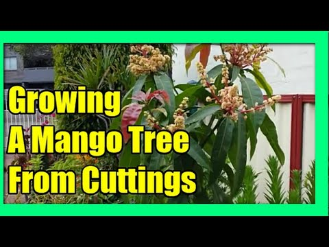 How To Grow Mango Tree From Cuttings