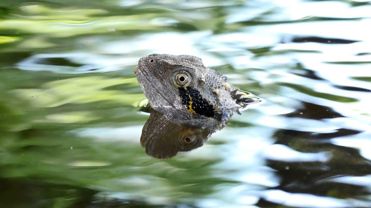 Australian Water Dragon: Australian Water Dragon (Intellagama Lesueurii, Formerly