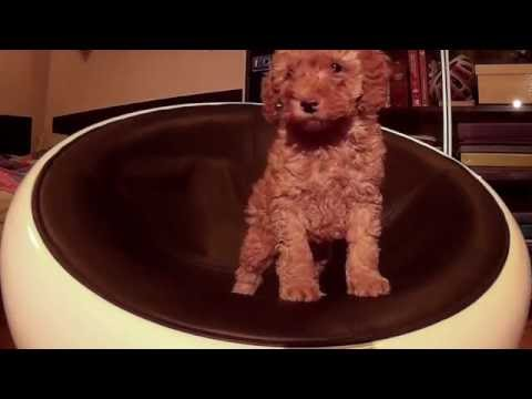 Time Lapse: filming my poodle puppy Trudi growing for 50 days while sitting in an armchair