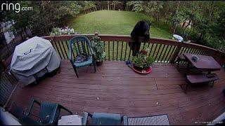 Bear caught on camera drinking from hummingbird feeder