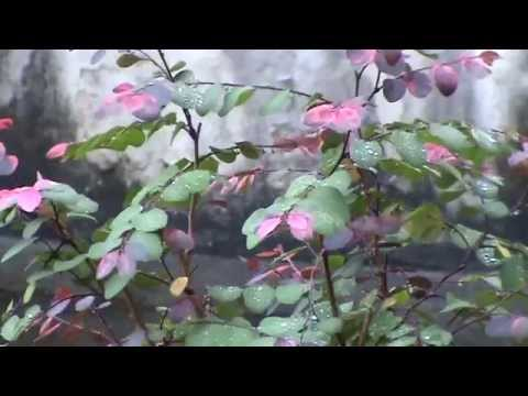 Breynia nivosa roseopicta - The amazing leaves of this ornamental plant