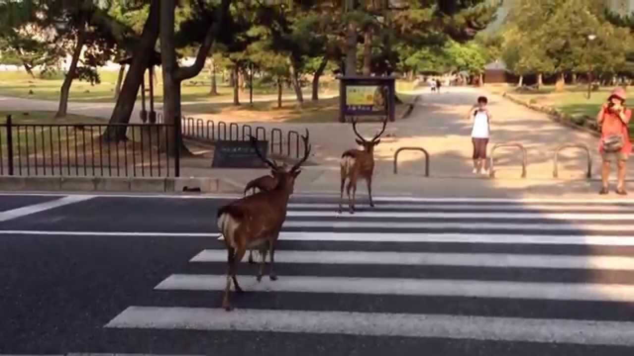 ちゃんと橫斷歩道を渡る奈良の鹿 - YouTube