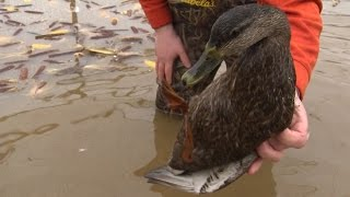 Duck Banding in Search of the Black Duck