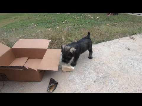 Standard Schnauzer Puppies  Meet the Girls