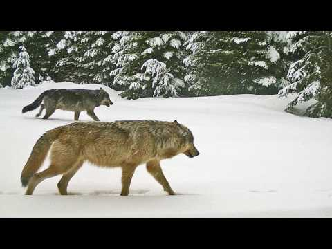 Oregon Wolves - Central Oregon Daily Report - Part 3